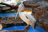 White pelican in a zoo — Stock Photo