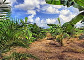 Banana plantation, Thailand — Stock Photo