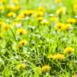 Stock Photo: Dandelion flowers in bloom
