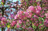 Apple blossom — Stock Photo