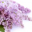 Lilac blossom — Stock Photo