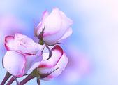 Three roses — Stock Photo