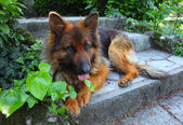 German-shepard — Stockfoto