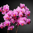 Orchid background — Stock Photo