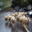 Sheep Walking in the Rain — Stock Photo