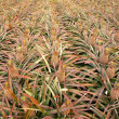 Field with Pineapples — Stock Photo