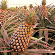 Stock Photo: Large Pineapple Fruits