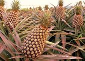 Large Pineapple Fruits — Stock Photo
