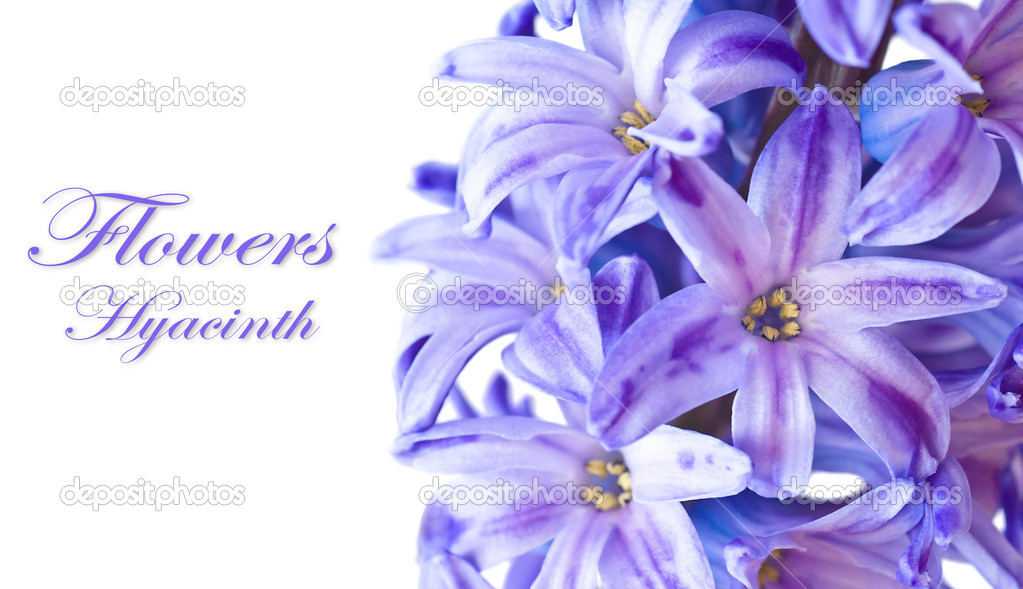 Blue Hyacinth macro on white background with sample text  Stock Photo #10730350