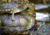 Tortoises on waters edge — Stock Photo