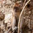 Macaque monkey in tree — 图库照片