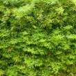Green hedge background texture — Stock Photo