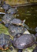 Tortoises on waters edge — Stock Photo