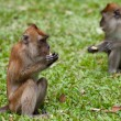 Macaque monkey — Stockfoto #10461536