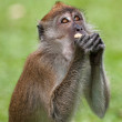 Foto Stock: Macaque monkey