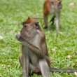 Royalty-Free Stock Photo: Macaque monkey