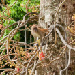 Macaque monkey — Foto Stock #10461692