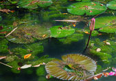 Lilypads in pond — Stock Photo