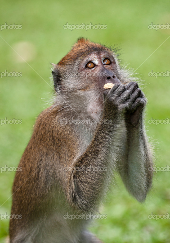 A small macaque monkey in penang malaysia — Stock Photo #10461566