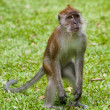 Macaque monkey — Foto Stock #10571984