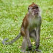 Foto de Stock  : Macaque monkey