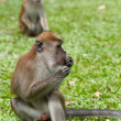 Macaque monkey — Foto Stock #10572216