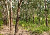 Rubber tree plantation — Stock Photo