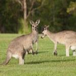 Eastern grey kangaroos — Stock Photo #8790739