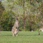 Eastern grey kangaroos — Stock Photo #8907034