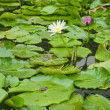 Water lillies — Stock Photo #9061002