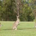 Eastern grey kangaroos — Stock Photo #9061046