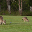 Eastern grey kangaroos — Stock Photo