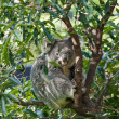 Australian koala in a tree — Stock Photo