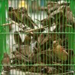 Birds in a cage - Stock Photo
