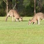 Eastern grey kangaroos — Stock Photo #9120403