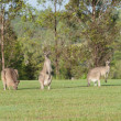 Royalty-Free Stock Photo: Eastern grey kangaroos