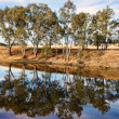River gum trees reflecting in river — Stock Photo