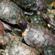 Stock Photo: Tortoises crowded together