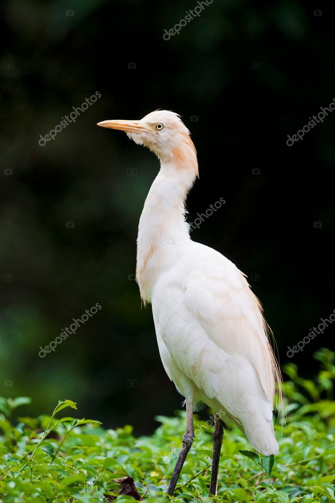 A white cattle egret bird stands on top of a bush — Stock Photo #9857585