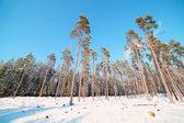 Bosque nevado. — Foto de Stock