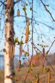Birches. — Stock Photo