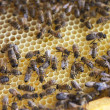 Bees in hive. — Stock Photo #10617472