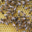 Bees on honeycombs. — Stock Photo #10650542