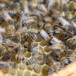 Bees on frame. — Stock Photo #10660442