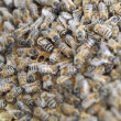 Bees on frame. — Stock Photo