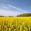 Stock Photo: Canola field.