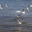 Sea gulls. - Stock Photo