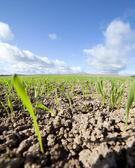 Yeni buğday. — Stok fotoğraf