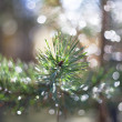 Stock Photo: Pine`s branch.
