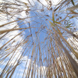 Dry reed. — Stock Photo #8508629